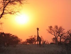 Africa luxury wedding with giraffe in the sunset